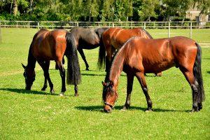 manege-flemming-paard-zuid-holland-westmaas